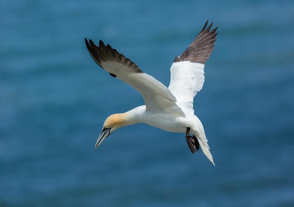 Bempton Cliffs - Gannets