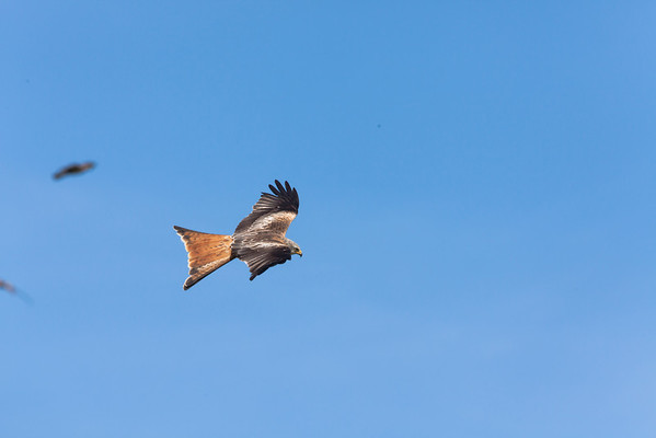 Wales - Red Kites, Gigrin Farm, 28th May 2010